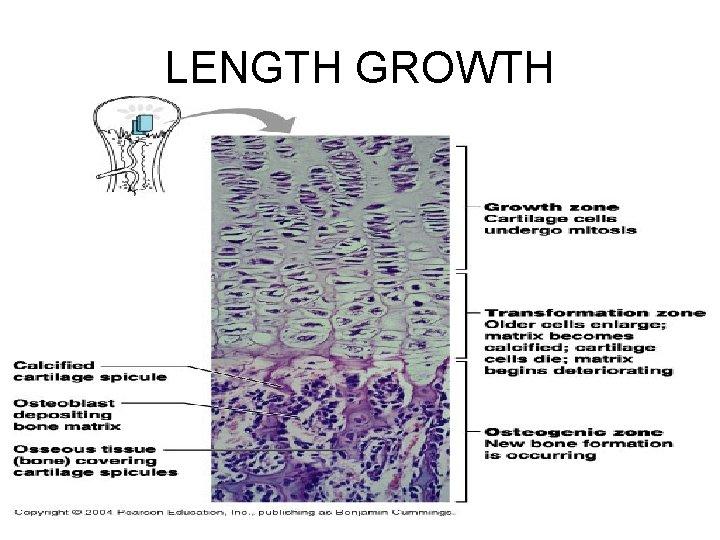 LENGTH GROWTH