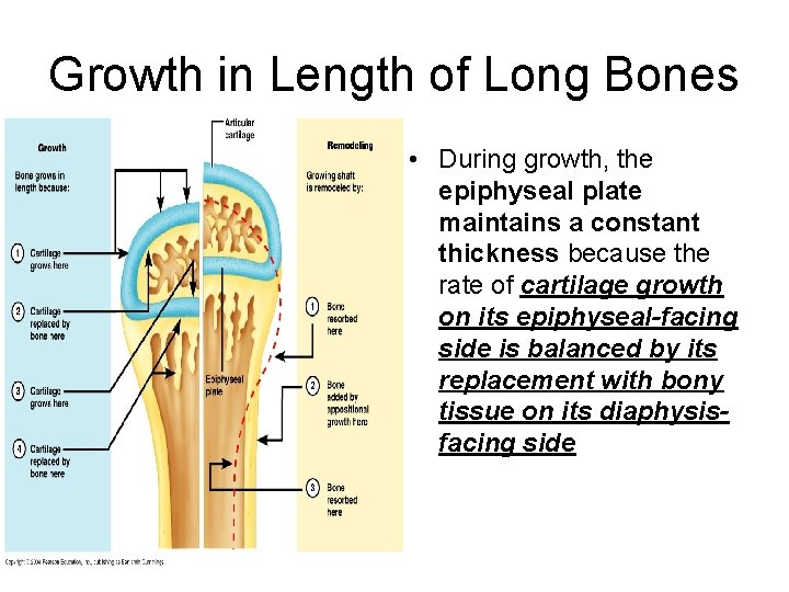 Growth in Length of Long Bones • During growth, the epiphyseal plate maintains a