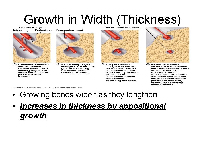 Growth in Width (Thickness) • Growing bones widen as they lengthen • Increases in