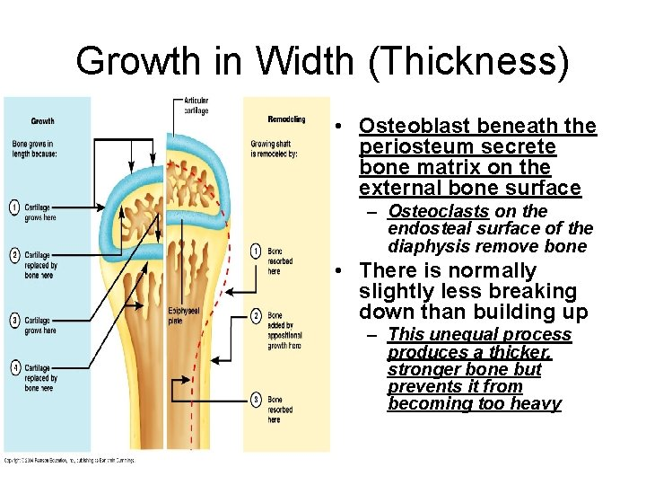 Growth in Width (Thickness) • Osteoblast beneath the periosteum secrete bone matrix on the