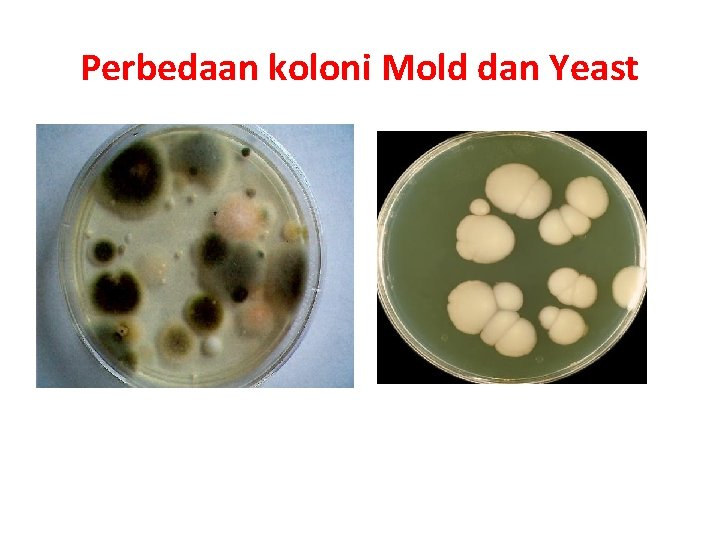 Perbedaan koloni Mold dan Yeast Mold (kapang) Yeast (khamir)