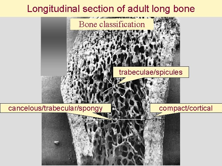 Longitudinal section of adult long bone Bone classification trabeculae/spicules cancelous/trabecular/spongy compact/cortical