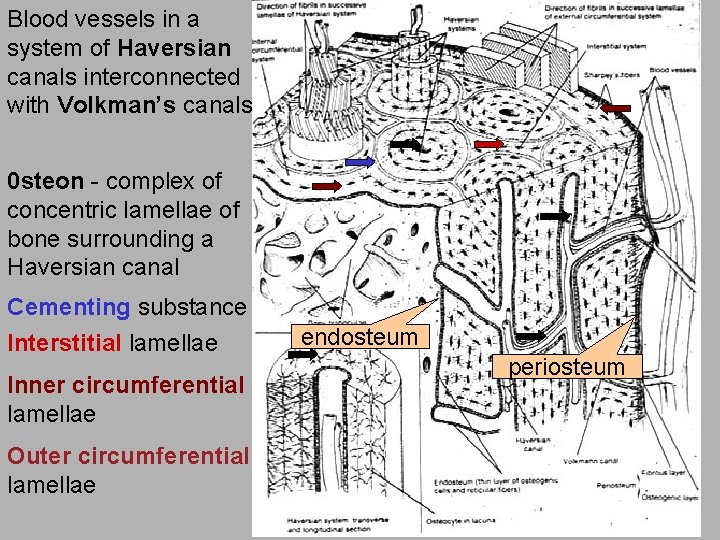 Blood vessels in a system of Haversian canals interconnected with Volkman's canals 0 steon