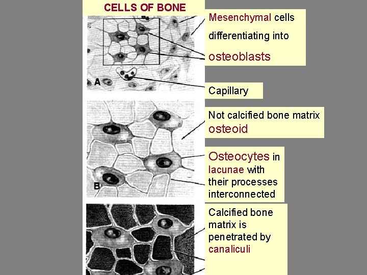 CELLS OF BONE Mesenchymal cells differentiating into osteoblasts Capillary Not calcified bone matrix osteoid