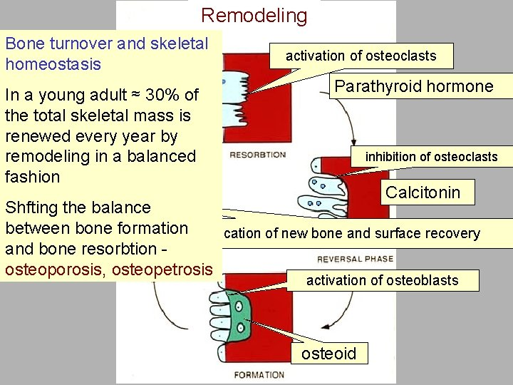 Remodeling Bone turnover and skeletal homeostasis In a young adult ≈ 30% of the