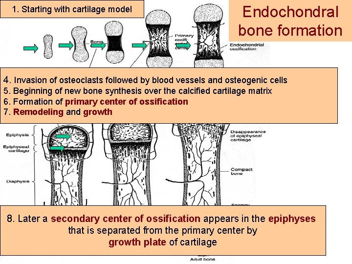 1. Starting with cartilage model Endochondral bone formation 4. 2. Invasion of osteoclasts followed