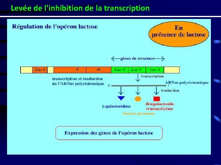 Levée de l'inhibition de la transcription