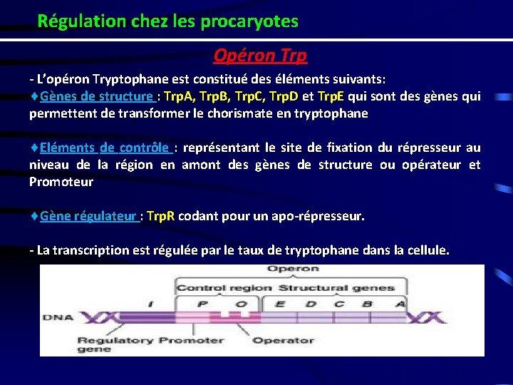 Régulation chez les procaryotes Opéron Trp - L'opéron Tryptophane est constitué des éléments suivants: