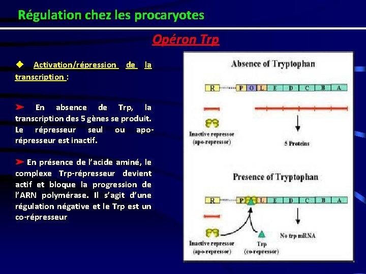 Régulation chez les procaryotes Opéron Trp ❖ Activation/répression transcription : de la ➢ En