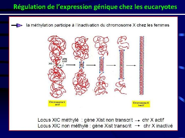 Régulation de l'expression génique chez les eucaryotes