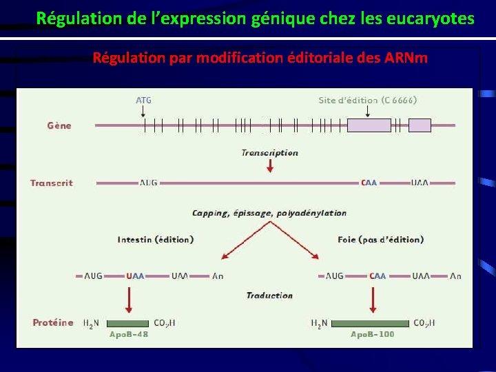 Régulation de l'expression génique chez les eucaryotes Régulation par modification éditoriale des ARNm