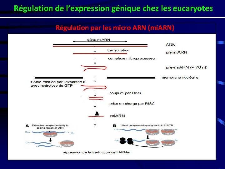 Régulation de l'expression génique chez les eucaryotes Régulation par les micro ARN (mi. ARN)