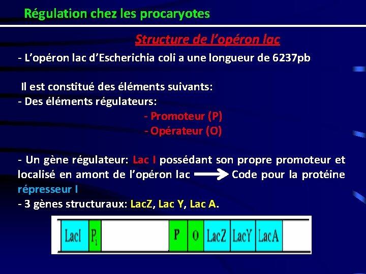 Régulation chez les procaryotes Structure de l'opéron lac - L'opéron lac d'Escherichia coli a