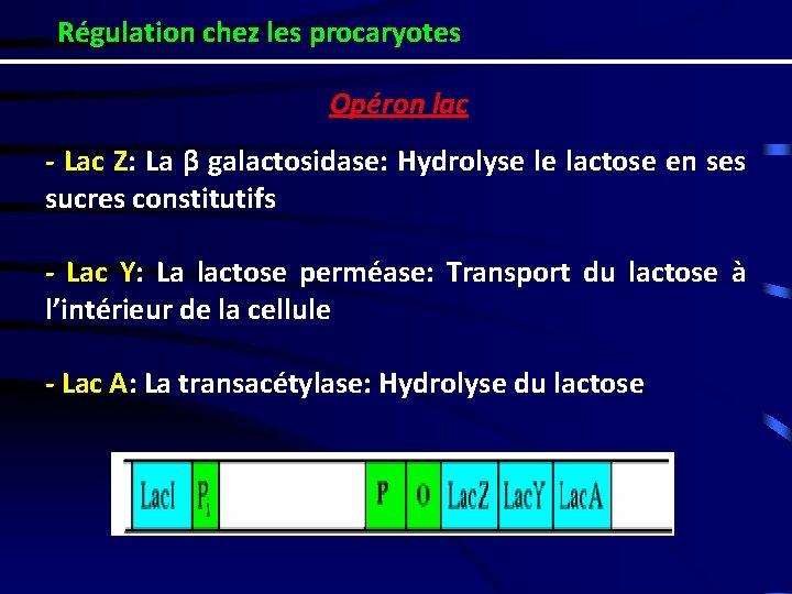 Régulation chez les procaryotes Opéron lac - Lac Z: La β galactosidase: Hydrolyse le