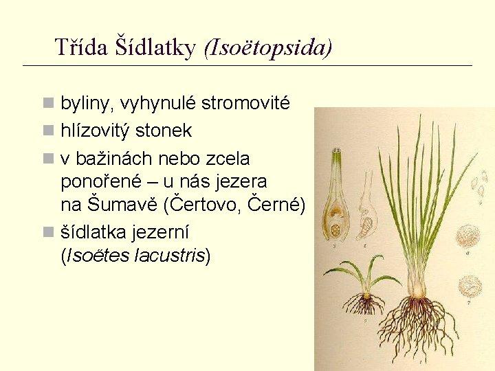 Třída Šídlatky (Isoëtopsida) n byliny, vyhynulé stromovité n hlízovitý stonek n v bažinách nebo