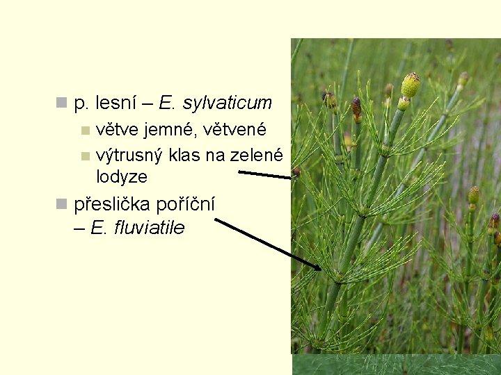 n p. lesní – E. sylvaticum n větve jemné, větvené n výtrusný klas na
