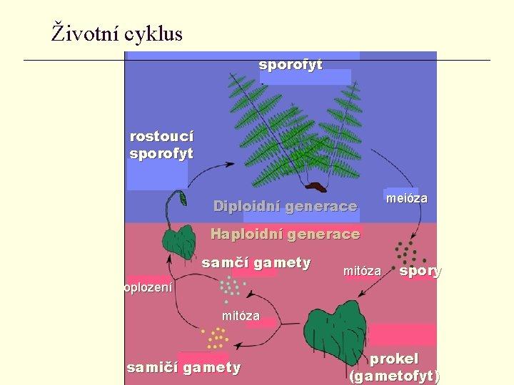 Životní cyklus sporofyt rostoucí sporofyt Diploidní generace meióza Haploidní generace samčí gamety oplození mitóza