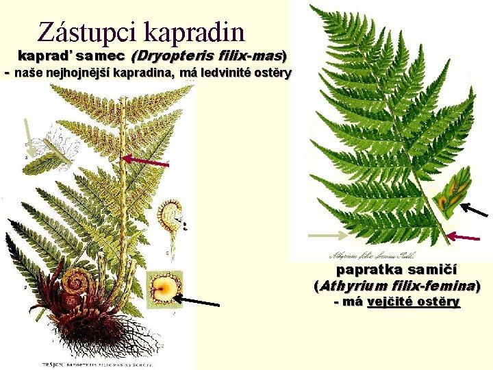 Zástupci kapradin kapraď samec (Dryopteris filix-mas) - naše nejhojnější kapradina, má ledvinité ostěry papratka