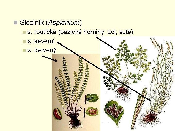 n Sleziník (Asplenium) n s. routička (bazické horniny, zdi, sutě) n s. severní n