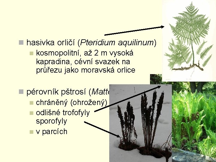 n hasivka orličí (Pteridium aquilinum) n kosmopolitní, až 2 m vysoká kapradina, cévní svazek