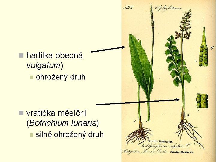 n hadilka obecná vulgatum) n ohrožený druh n vratička měsíční (Botrichium lunaria) n silně