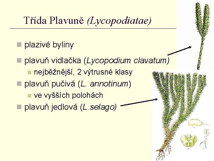 Třída Plavuně (Lycopodiatae) n plazivé byliny n plavuň vidlačka (Lycopodium clavatum) n nejběžnější, 2