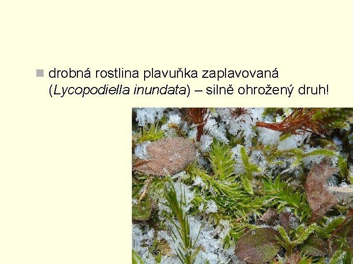 n drobná rostlina plavuňka zaplavovaná (Lycopodiella inundata) – silně ohrožený druh!