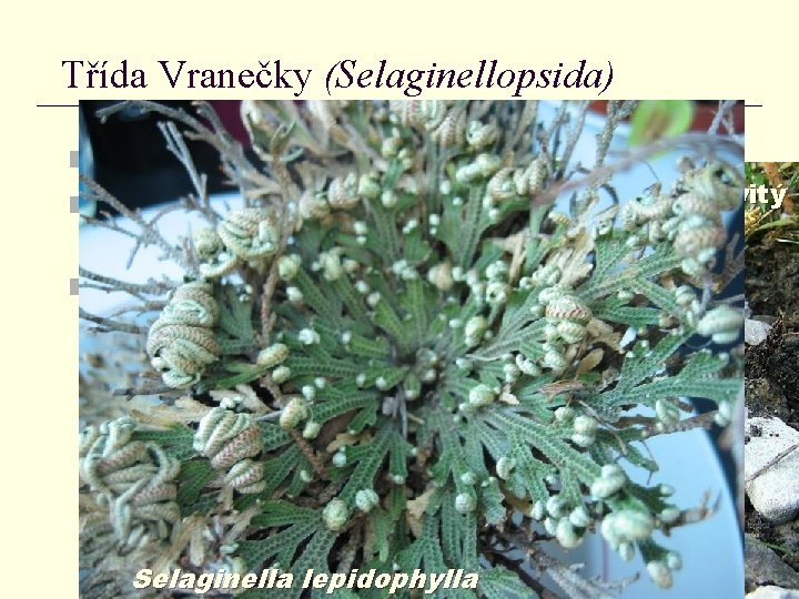 Třída Vranečky (Selaginellopsida) n drobné byliny vraneček brvitý n vraneček brvitý (Selaginella selaginoides) –