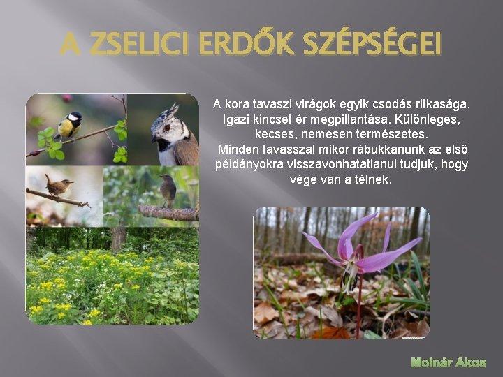 A ZSELICI ERDŐK SZÉPSÉGEI A kora tavaszi virágok egyik csodás ritkasága. Igazi kincset ér