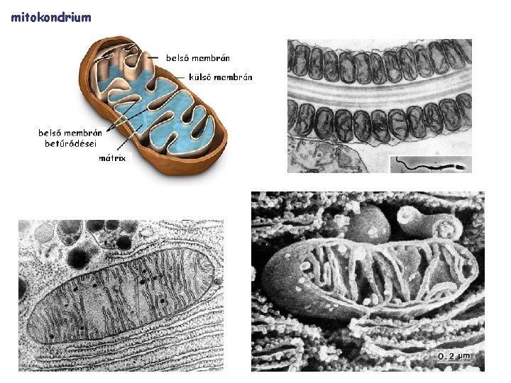 Parazita mitokondrium. Ez az állat nem lélegzik oxigént!