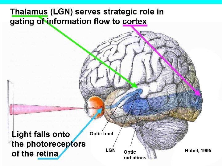 Hubel d szem agy látás m - Szem agy látás d hubel