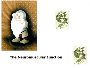 The Neuromuscular Junction T H E N E