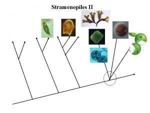 Stramenopiles II Photosynthetic Stramenopiles Synurophyceans SilicaScaled Algae Tribophyceans