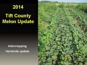2014 Tift County Melon Update Intercropping Herbicide update