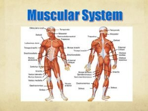 Muscular System Muscular System Functions Muscle Tissue Can