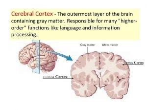 Cerebral Cortex The outermost layer of the brain