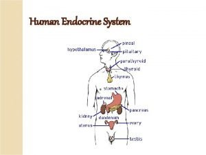 Human Endocrine System Endocrine System groups of endocrine