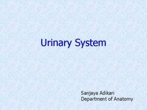 Urinary System Sanjaya Adikari Department of Anatomy Urinary