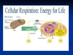Photosynthesis Cellular Respiration The opposite of photosynthesis Photosynthesis