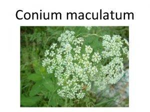 Conium maculatum Conium maculatum Conium maculatum also known