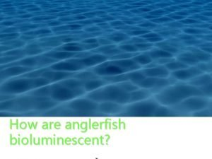 How are anglerfish bioluminescent Different Kinds of Anglerfish