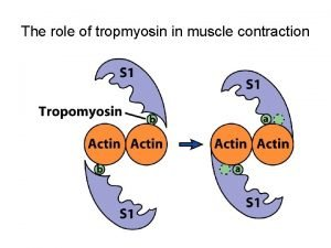 The role of tropmyosin in muscle contraction 9