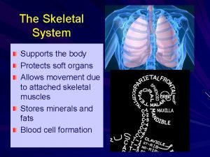 The Skeletal System Supports the body Protects soft
