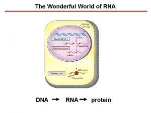 The Wonderful World of RNA DNA RNA protein
