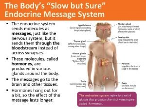 The Bodys Slow but Sure Endocrine Message System