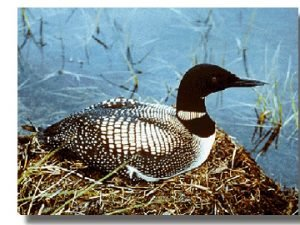 The Common Loon Gavia immer Common Loon Characteristics