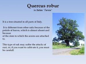 Quercus robur in Italian Farnia It is a