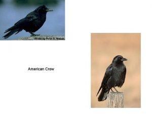 American Crow Northern Goshawk Bald Eagle Coopers hawk