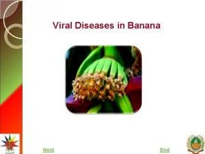 Viral Diseases in Banana Next End Major Viral