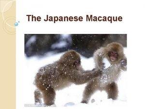 The Japanese Macaque Development Developmental Stages infantile juvenile